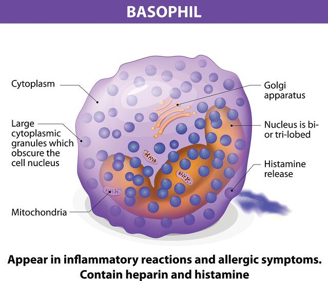 Basophils appear in inflammatory reactions and allergic symptoms.